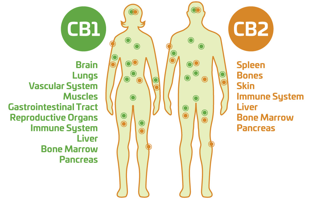 Diagram of the body with CB1 and CB2 Recepor locations.